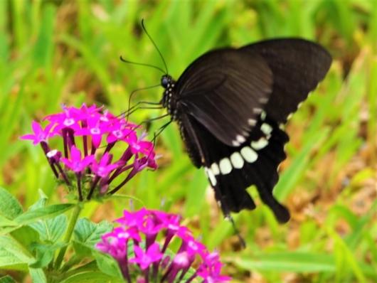シロオビアゲハの雄(白帯揚羽) 学名:Papilio polytes