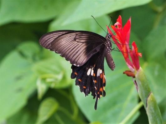 シロオビアゲハの雌 ベニモン型(白帯揚羽) 学名:Papilio polytes