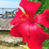 ブッソウゲ(仏桑花) 学名:Hibiscus rosa-sinensis, rose of China, Chinese hibiscus
