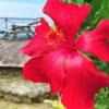南国の花ハイビスカス☆ブッソウゲ(仏桑花) 学名:Hibiscus rosa-sinensis, rose of C