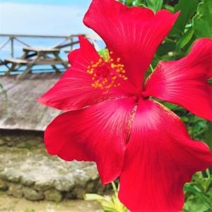 ブッソウゲ(仏桑花) 学名:Hibiscus rosa-sinensis, rose of China, Chinese hibiscus
