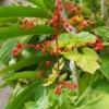 ヒギリ (緋桐)学名:Clerodendrum Japonicum Sweet