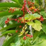 ヒギリ 緋桐 Clerodendrum Japonicum Sweet