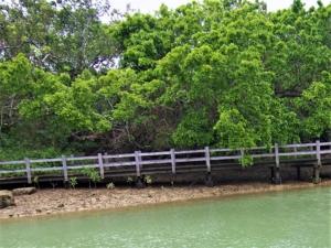 オヒルギ(赤花漂木)学名:Bruguiera gymnorhiza