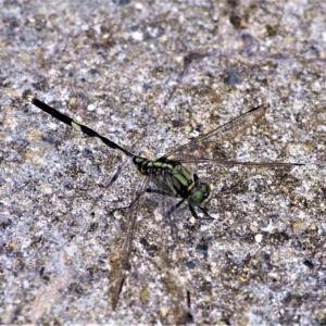 タイワンウチワヤンマ(台湾団扇蜻蜒)学名:Ictinogomphus pertinax