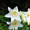 テッポウユリEaster lily 鉄砲百合 Lilium longiflorum