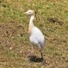 アマサギ(飴鷺) 学名:Bubulcus ibis