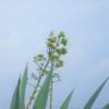 数十年に一度しか開花しないアオノリュウゼツラン(青竜舌蘭) 学名:Agave americana