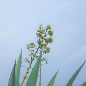 アオノリュウゼツラン(青竜舌蘭) 学名:Agave americana Agave  Century Plant