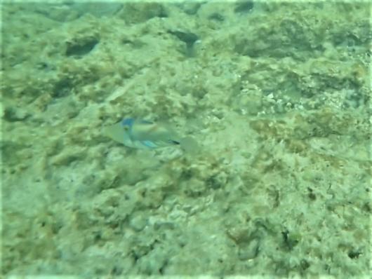 ムラサメモンガラ(叢雨紋殻) 学名:Rhinecanthus aculeatus