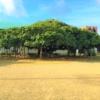 国頭(くにがみ)小学校【沖永良部島】にある日本一のガジュマル 学名:Ficus microca