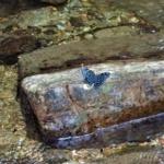 スミナガシ(墨流)Dichorragia nesimachusokinawaensis(Shimagami,1986)奄美・沖縄亜種 タテハチョウ科スミナガシ属