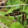 オキナワチョウトンボ 沖縄蝶蜻蛉Rhyothemis variegata imperatrix ベッコウチョウトンボ