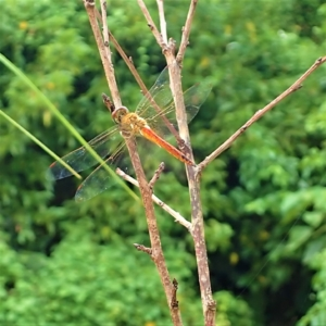コモンヒメハネビロトンボ(小紅姫翅広蜻蛉) 学名:Tramea transmarina euryale