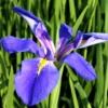 オクラレルカ(長大アイリス)学名:Iris ochroreuca