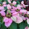 ショウジョウボク(猩々木) 又はポインセチア  学名: Euphorbia pulcherrima