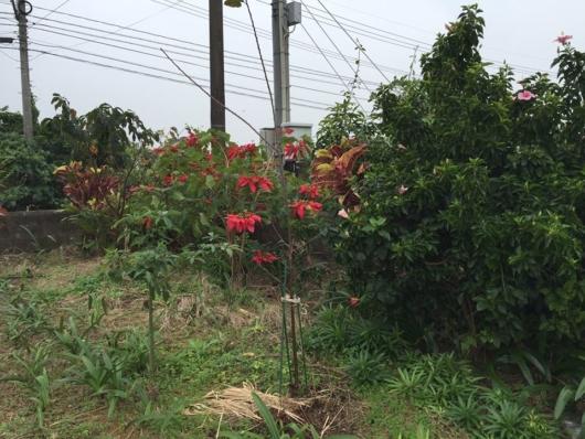 ショウジョウボク ポインセチア  学名: Euphorbia pulcherrima