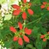 ショウジョウソウ(猩々草) 学名:Euphorbia cyathophora
