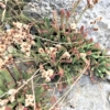 ウスジロイソマツ(薄白磯松)学名:Limonium wrightii forma albolutescens
