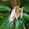 シロダモ(白梻)学名:Neolitsea sericea