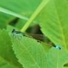 アオモンイトトンボ(青紋糸蜻蛉) 学名:Ischnura senegalensis