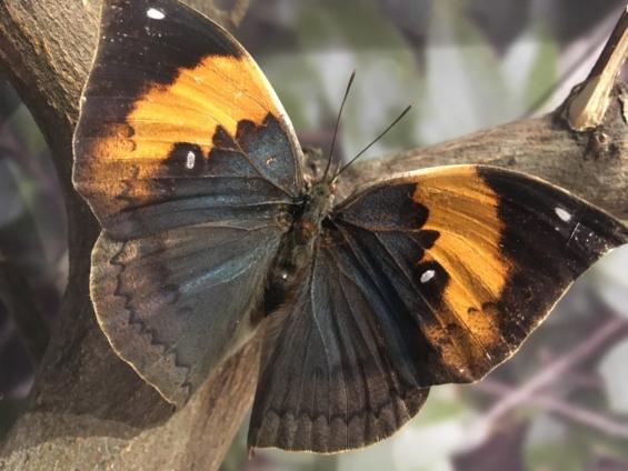 コノハチョウ(木の葉蝶) Kallima inachus eucerca