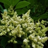 ヤンバルアワブキ(山原泡吹) 学名:Meliosma arnottiana subsp.ordhamii