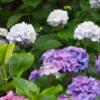 隠れた紫陽花(あじさい)の名所☆飛鳥山(あすかやま)公園【東京都:北区王子】