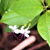 イボタクサギ(疣取臭木) 学名:Clerodendrum inerme