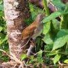 アカハラ(赤腹) 学名: Turdus chrysolaus