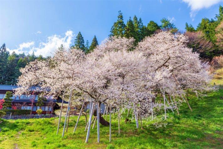臥龍桜 飛騨高山