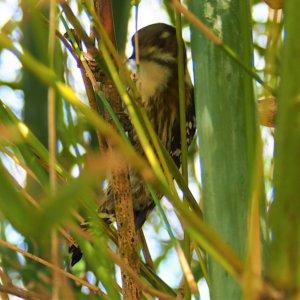 リュウキュウコゲラ(琉球小啄木鳥) Dendrocopos kizuki nigrescens (Seebohm, 1887)