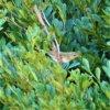春を告げる鳥 ☆ リュウキュウウグイス (琉球鶯) 学名:Horornis diphone riukiuensi