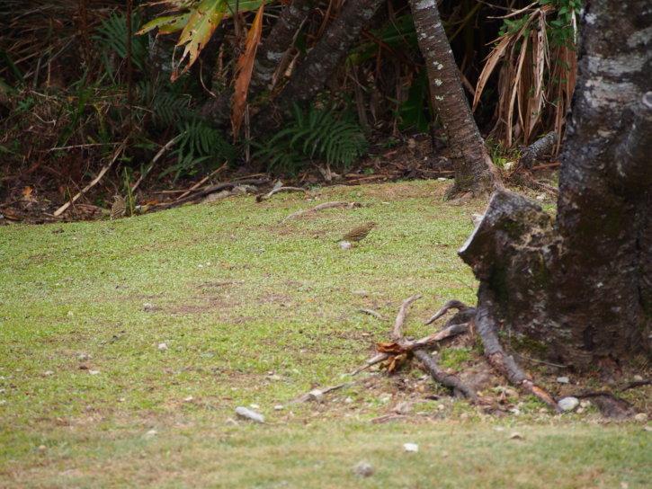 ツグミ(鶇)学名:Turdus eunomus