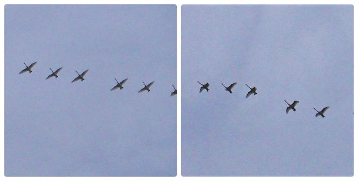 オオハクチョウの編隊飛行