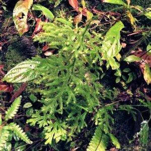 ミズスギ(水杉)ヒカゲノカズラ科ヒカゲノカズラ属