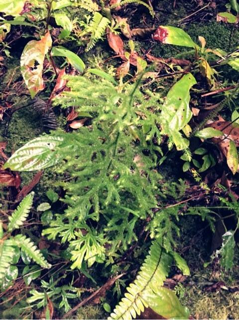 ミズスギ(水杉)ヒカゲノカズラ科 ヒカゲノカズラ属