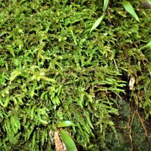 ネズミノオゴケ(鼠の尾蘚) Myuroclada maximowiczii (Borcz.) Steere et W.B.Schofield