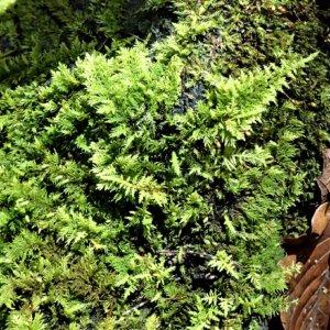 トヤマシノブゴケ(富山忍蘚)学名:Thuidium kanedae Sakurai シノブゴケ科シノブゴケ属