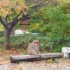 北限のサル ニホンザル(ホンドザル)学名;Macaca fuscata 霊長目オナガザル科マカク属