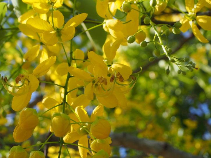 ゴールデンシャワー ナンバンサイカチ (南蛮皀莢)学名:Cassia fistula マメ科ジャケツイバラ亜科ナンバンサイカチ属