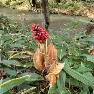 マムシグサ(蝮草)学名:Arisaema serratum