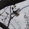 セグロセキレイ 背黒鶺鴒 Motacilla grandis セキレイ科セキレイ属