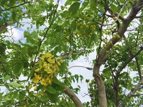 ゴールデンシャワー ナンバンサイカチ (南蛮皀莢)学名:Cassia fistula