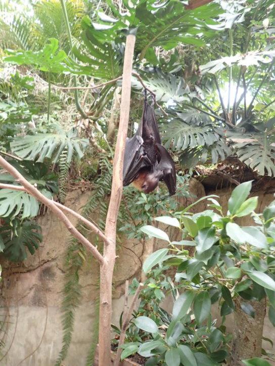 長崎バイオパーク インドオオコウモリ