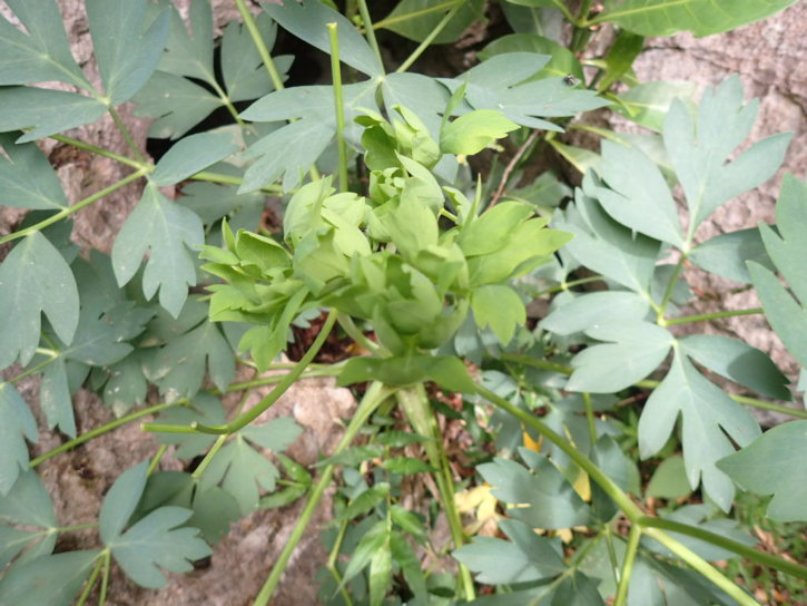 長命草(ボタンボウフウ、サクナ)学名:Peucedanum japonicum