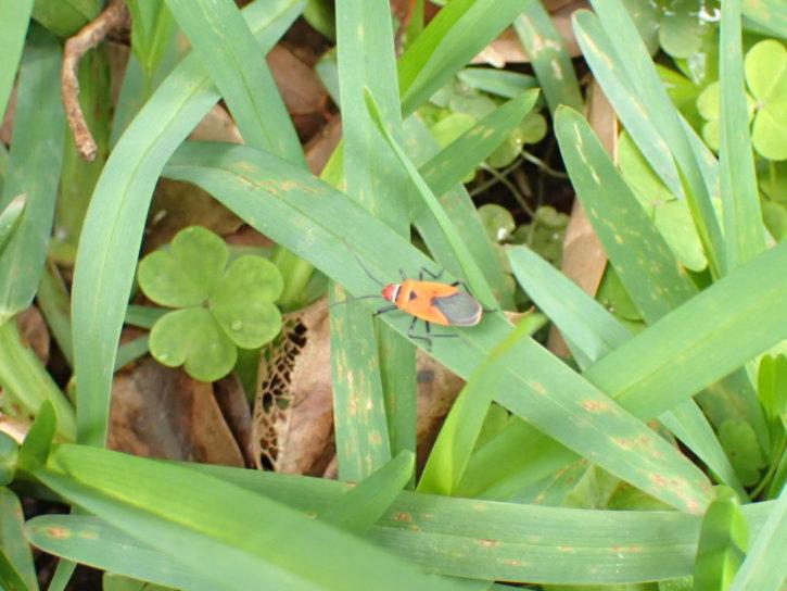 アカホシカメムシ(赤星亀虫)学名:Dysdercus cingulatus