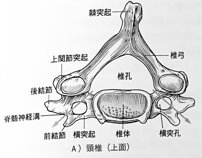頸椎 出典:解剖学第2版