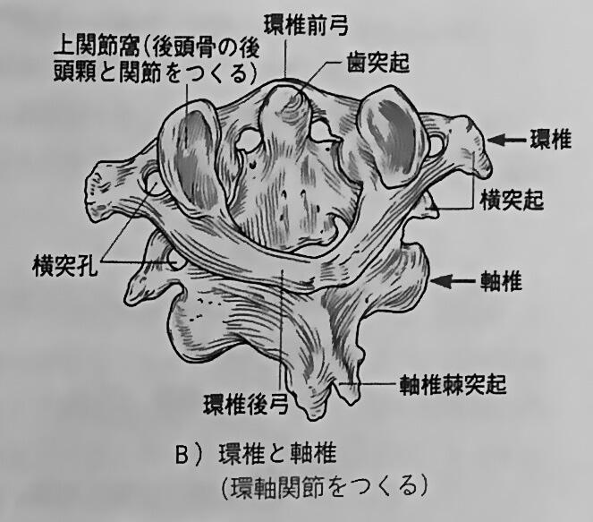 環椎と軸椎 出典:解剖学第2版