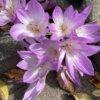 ガーデンオブCクルシウス 学名:Tulipa l